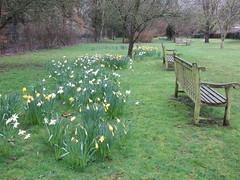UK - Warwickshire - Shottery - Anne Hathaway's Cottage - Shakespeare Tree Garden (JulesFoto) Tags: uk england warwickshire shottery annehathawayscottage thatchedcottage garden sculpture daffodils