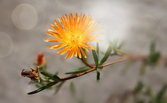 Like a little shiny sun (Photogioco) Tags: flower orange april sun