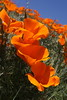 Poppy Cluster (erica-kalmeta) Tags: orange flowers flower poppy poppies field sunshine sun summer nature blue sky rolling hills california grass