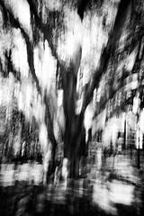 SPRING! (ChrisRSouthland) Tags: brisbane elmarit28mmf28 leicammonochrom mm places blackwhite blackandwhite monochrome motion motionblur nature outdoor