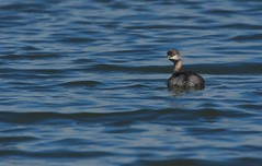 DWJ_1315 (mdsmedia9) Tags: alone birds but grebe jawbonefloraandfaunareserve solitary water