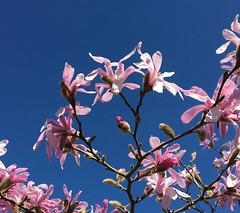 Magnolia stellata cultivar (Kniphofia) Tags: magnolia tree blossom pink bluesky