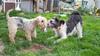 Es ist so schön, dass Mottchen trotz Blindheit  wieder mit Lenny spielt (rentmam1) Tags: dogs hund motte lenny