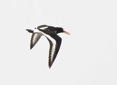 Sandwich Bay Oystercatcher flying