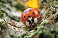 Marienkäfer (libra1054) Tags: marienkäfer coccinelle coccinella mariquita joaninha ladybug insects insekten insectos insetti insectes macro nature outdoor 7dwf fauna