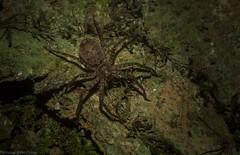 small huntsperson spider (dustaway) Tags: arthropoda arachnida araneae araneomorphae sparassidae huntsman australianspiders rainforest rprr rotarypark lismore australianwildlife nature northernrivers nsw australia rotary park reserve rotaryparkrainforestreserve