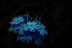 Blues (Pedro1742) Tags: blue blackbackground bouquet