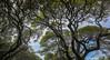Acacia koa (julesnene) Tags: acacia acaciakoa canon1635mmf4lisusm canon5dmarkiv hawaii juliasumangil maui julesnene koa nature travel tree trees