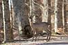 Capriolo (franco 1961) Tags: capreoluscapreolus parchi gransasso natura nature wildlife wild abruzzo mammifero