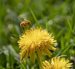 Honigbiene am Löwenzahn (Jo&Ma) Tags: dandelion löwenzahn biene bienenflug honigbiene taraxacum pollen bestäubung bee spring frühling