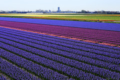 For Crush (eleni m) Tags: bulbfields flowers bulbs hyacinths outdoor rows lines smell colours colourful blue pink purple purple green yellow bollenstreek landscape holland thenetherlands