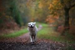 Buddy the Goldie (www.neilporterphotography.com) Tags: buddy golden retriever autumn wood walk forest plantation walkies dog