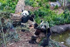 Panda cubs (begineerphotos) Tags: alberta calgary calgaryzoo giantpanda panda pandapassage zoo cubs pandacubs jiapanpan jiayueyue