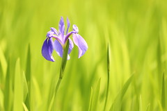 Iris (Teruhide Tomori) Tags: iris kyoto japan otajinja pond spring nature green flower japon kamigamo 上賀茂 太田神社 京都 カキツバタ 日本 花 春 自然 緑