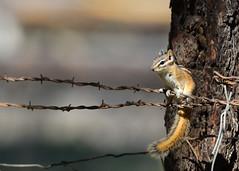 DSC_7152 Chipmunk on barb wire (futzr.fotoz) Tags: chipmunk barb wire wenas road kittitas county central washington state ponderosa pine tree