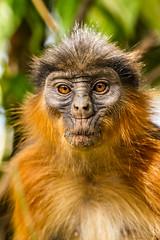IMG_5411 (garrygeezer) Tags: redcolobus mokey primate nature wildlife garrychisholm canon gambia senegambia africa