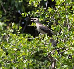 _DSC2503-editCC (Dave Krueper) Tags: africa southafrica birds birding bird starling