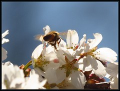 IMG_2523 Bee Season Begins 4-23-18 (arkansas traveler) Tags: bees honeybee bichos bugs insects flowers peartree zoom telephoto nature naturewatcher bokeh bokehlicious natureartphotography