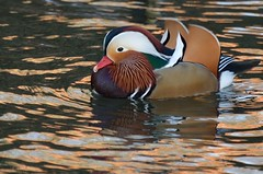 2018 01 07 007 KA Canal, madarin (Mark Baker.) Tags: 2018 avon baker berkshire eu europe january kennet kennetandavon mark newbury britain british canal day duck england english european gb great kingdom male mandarin outdoor photo photograph picsmark uk union united urban wildlife winter