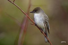 Eastern Phoebe (jt893x) Tags: 150600mm bird d500 easternphoebe flycatcher jt893x nikon nikond500 phoebe sayornisphoebe sigma sigma150600mmf563dgoshsms songbird coth thesunshinegroup alittlebeauty ngc coth5 sunrays5