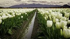 Rainy Tulip Fields (donswingley) Tags: flowers tulips fields white skagitvalley