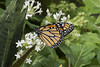 Butterfly 2018-18 (michaelramsdell1967) Tags: butterfly butterflies nature macro animal animals insect insects green white monarch monarchs bug bugs vivid vibrant orange upclose closeup beauty beautiful pretty lovely spring garden wing wings flower flowers zen