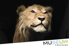 79x54mm // Lion // Muséum de Toulouse
