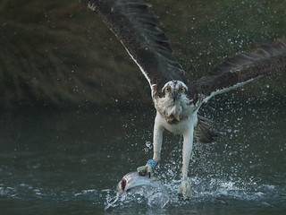 Osprey_4221