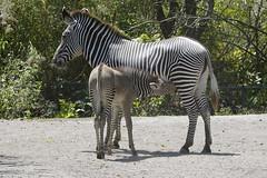 Grévy's zebra (Equus grevyi) (ucumari photography) Tags: ucumariphotography zoo miami fl florida march 2018 grévyszebra equusgrevyi animal mammal foal nursing dsc3732 specanimal
