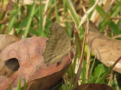 Junonia lemonias (dhobern) Tags: 2018 china lepidoptera march xtbg xishuangbanna yunnan nymphalidae nymphalinae junonialemonias