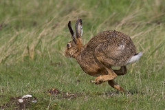 hare full pelt (colin 1957) Tags: hare running animals