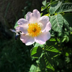 Blooming wild rose with flying bee (nenos_79) Tags: insect flyingbee bee rosehip wildrose flower flora nature dreamsmacro macro bulgaria blooming beautiful plant plovdiv iphonephotography
