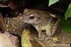 Giant River Frog (Limnonectes blythii) (Steven Wong (ATKR)) Tags: steven wong siew por atkr45 stryker wsp atkr herp herping malaysia giant river frog limnonectes blythii