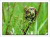 Fern Unfurling (linda.addis) Tags: odc ourdailychallenge pickyourdepthoffield