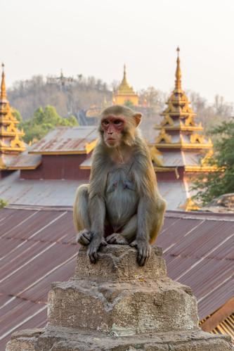 Monkey -Myanmar
