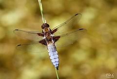 Libellule déprimée - Libellula depressa  ♂ (Flo . L) Tags: odonate charentemaritime libelluladepressa