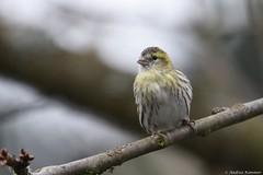 Erlenzeisig weiblich (Andrea Kammer) Tags: vogel erlenzeisig