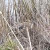 #2 Waiting (MJ Harbey) Tags: grass greylaggoose anseranser bird collegelake berksbucksoxonwildlifetrust wildlifetrust tring buckinghamshire nikon d3300 nikond3300