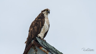 Osprey of the Jersey Shore   2018 - 9