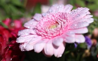 wet pink Gerbera
