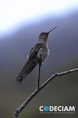 18 Patagona gigas - Proyecto Santuario de la Naturaleza Quebrada de Córdova, Región de Valparaíso, Chile