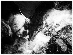 True Grit (JJFET) Tags: border collie dog sheepdog