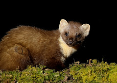 Pine Marten Martes martes (Iain Leach) Tags: birdphotography wildlifephotography photograph image wildlife nature iainhleach wwwiainleachphotographycom canon canoncameras photography canon1dxmk2 canon5dmk4 beauty beautiful beautyinnature macro macrophotography closeup pinemartenmartesmartes gallowayforest dumfriesandgalloway