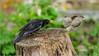 Dégage! (JB89100) Tags: 2018 6kphotomode effetsspeciaux merles moineau oiseaux quoi
