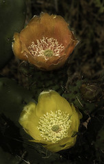 Prickly Pear Cactus With Two Different Colored Flowers (Bill Gracey 19 Million Views) Tags: pricklypearcactus flowers flores fleur color colorful ambientlight offcameraflash lastoliteezbox yongnuo yongnuorf603n lakeside opuntia nopal