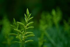 Greener Tillandsia Flowers (allnights1) Tags: tillandsia bromeliad green flower