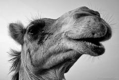 camel-Uschi (Frank Hoefliger) Tags: monochrome camel uschi 90mm uae vae tele portrait