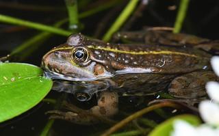 Grenouille rousse - Rana temporaria - European common frog