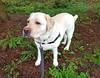 Gracie sheltering from the rain (walneylad) Tags: gracie dog canine pet puppy cute lab labrador labradorretriever april spring morning westlynn