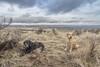 Desert dogs on Beezeley Hills (johnwporter) Tags: hiking scramble mountains easternwashington washington desert centralwashington beezleyhills 徒步 爬行 山 華盛頓東部 華盛頓州 荒漠 華盛頓中部 摩西深谷保護區 比茲利山丘 labrador blacklab yellowlab 拉布拉多 黑拉不拉多 黃拉不拉多